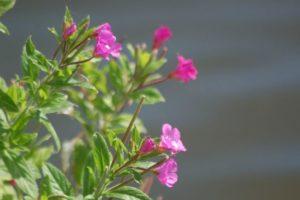 Flor de epilobio