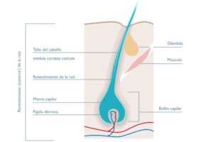 Folículo capilar