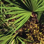 Tratamiento de medicina natural: Saw Palmetto
